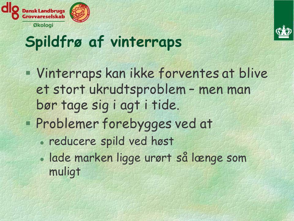 Spildfrø af vinterraps §Vinterraps kan ikke forventes at blive et stort ukrudtsproblem – men man bør tage sig i agt i tide.