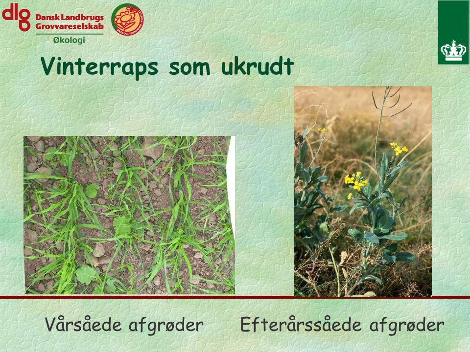 Vinterraps som ukrudt Vårsåede afgrøderEfterårssåede afgrøder