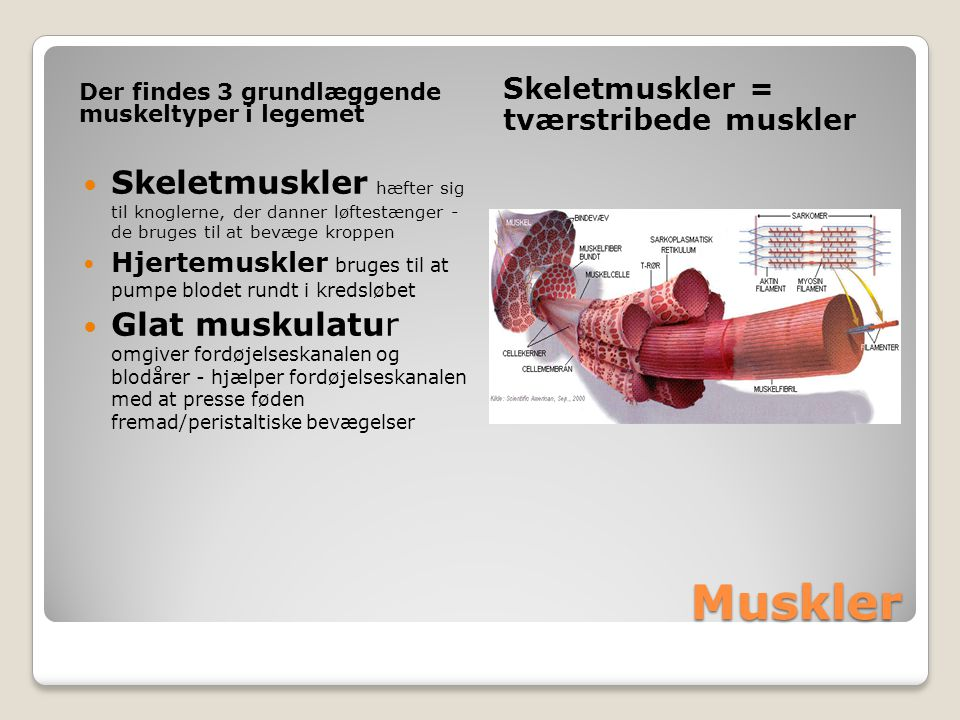 Muskler Der findes 3 grundlæggende muskeltyper i legemet Skeletmuskler = tværstribede muskler Skeletmuskler hæfter sig til knoglerne, der danner løftestænger - de bruges til at bevæge kroppen Hjertemuskler bruges til at pumpe blodet rundt i kredsløbet Glat muskulatur omgiver fordøjelseskanalen og blodårer - hjælper fordøjelseskanalen med at presse føden fremad/peristaltiske bevægelser