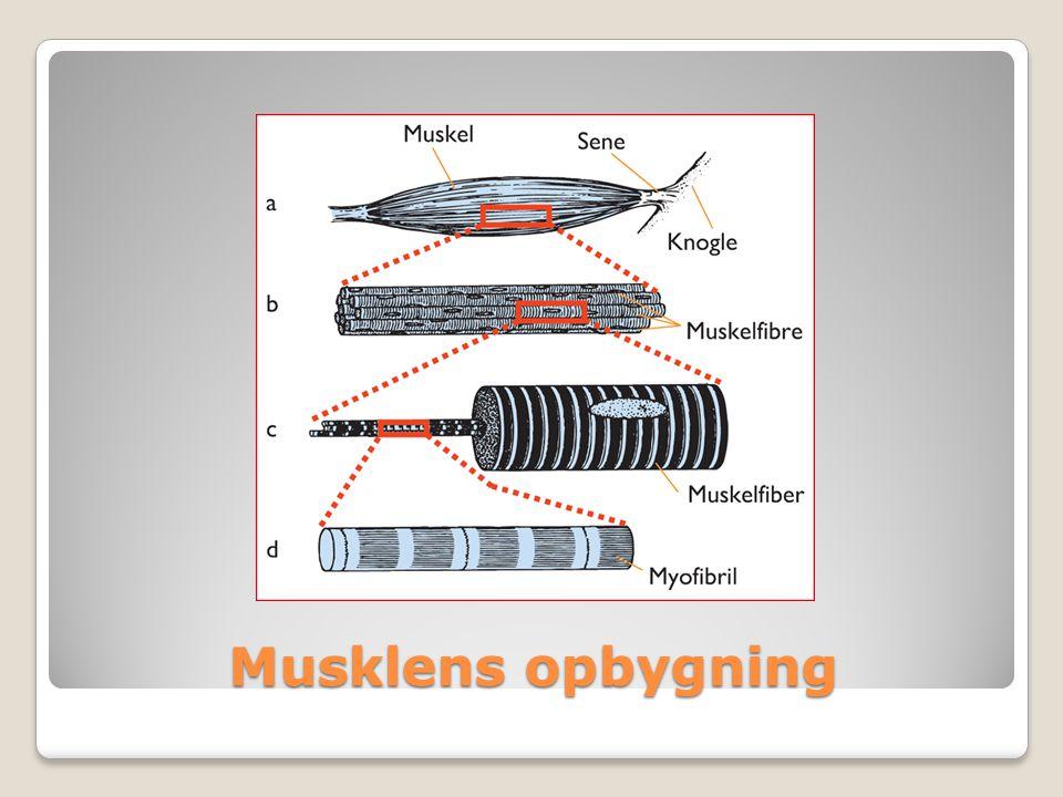 Røde muskelfibreHvide muskelfibre Indeholder meget myoglobin/ilttranspor terende molekyler Velforsynede med ilt og glukose Til langdistance-løb Ikke så meget myoglobin Hurtige, men trættes også hurtigt Bruges ved sprint