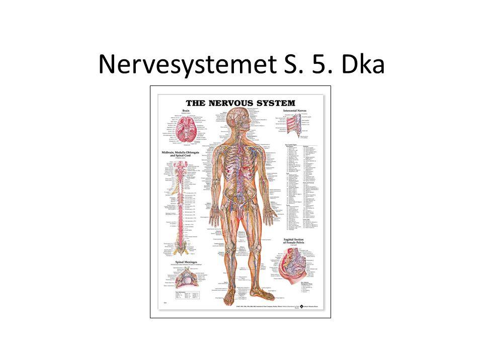Hjernen Hjernebjælken (forbinder de 2 halvdele) Mellemhjernen Thalamus (sanseinformationer sult/tørst/temp) Det limbiske system Storhjernen Midthjernen (søvn/vågenhed) Hjernebroen(pons) Den forlængede marv (Respirationcenter, blodtryk, )) Hjernestammen Lillehjernen(Koordinering) Hypothalamus(overordnet kontrol, sult, tørst,sex,aggression) Hypofyse