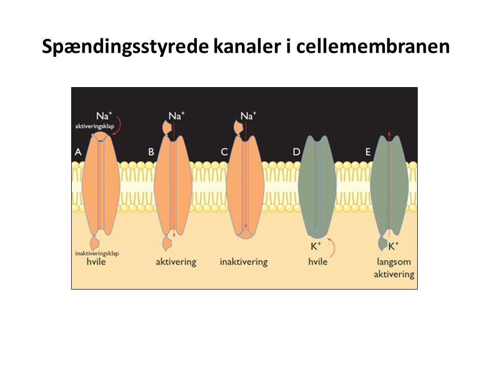 Spændingsstyrede kanaler i cellemembranen