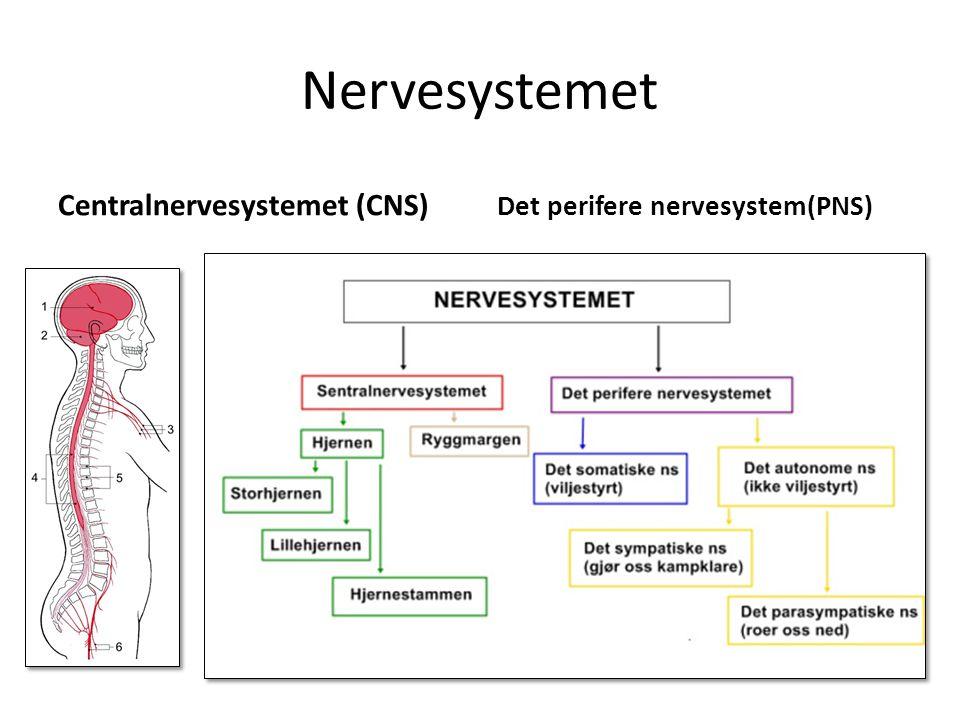 Nervesystemet Centralnervesystemet (CNS) Det perifere nervesystem(PNS)