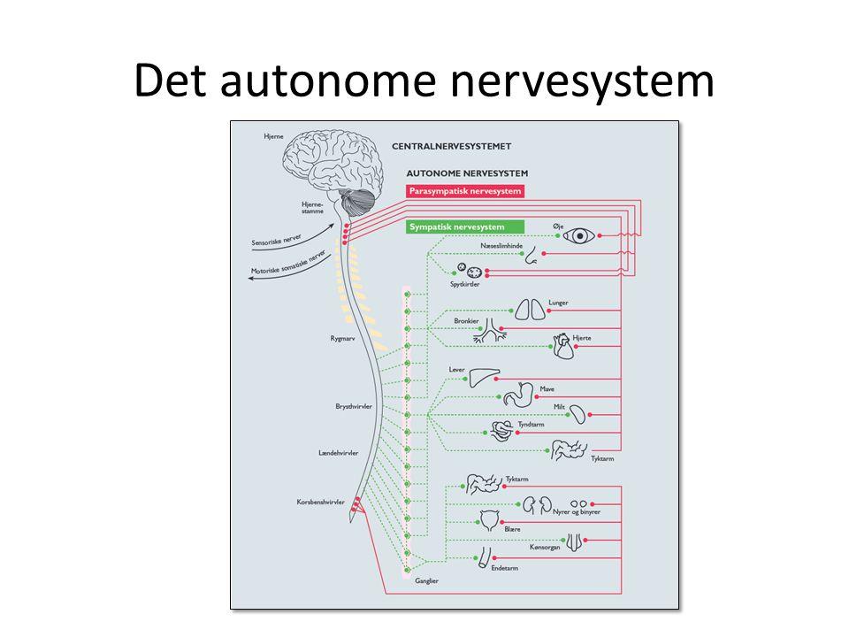 Autonome nervesystem(uden vilje) Sympatiske nervesystem Fremmer aktivitet i de indre organer.