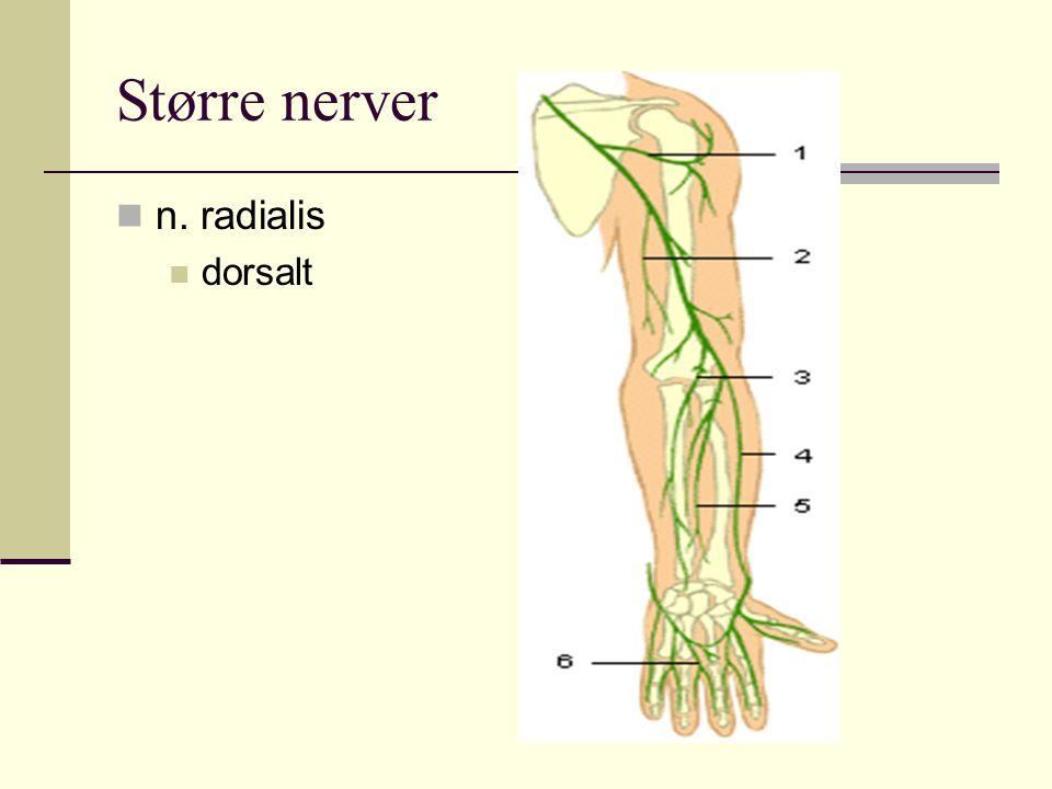 Større nerver n. radialis dorsalt