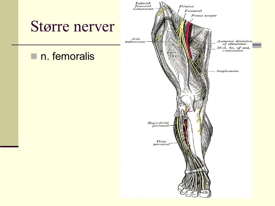 Større nerver n. femoralis