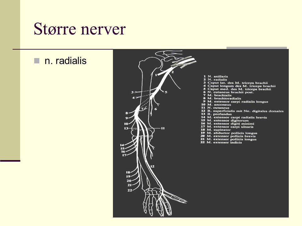 Større nerver n. radialis
