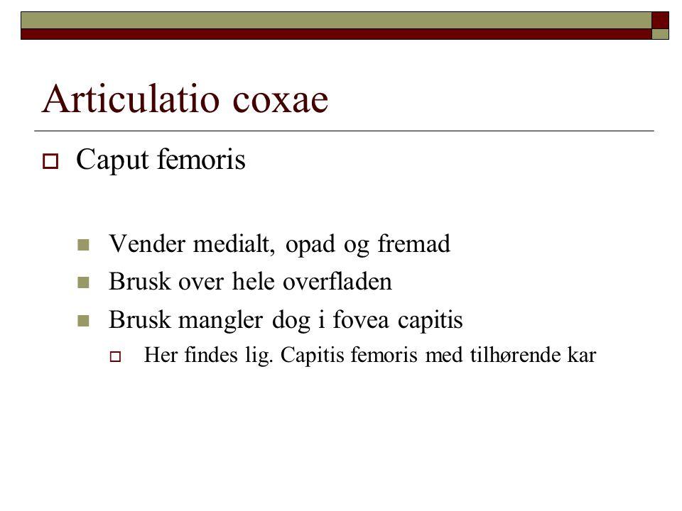  Caput femoris Vender medialt, opad og fremad Brusk over hele overfladen Brusk mangler dog i fovea capitis  Her findes lig.