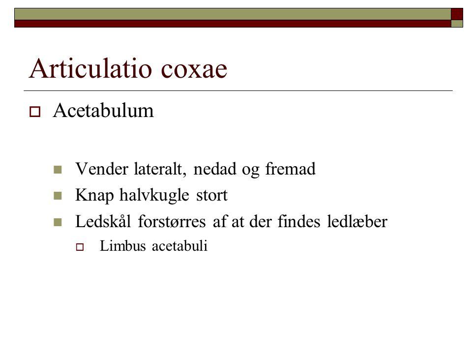  Acetabulum Vender lateralt, nedad og fremad Knap halvkugle stort Ledskål forstørres af at der findes ledlæber  Limbus acetabuli