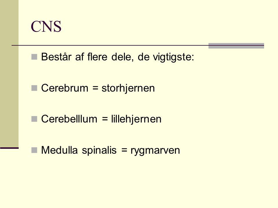 CNS Består af flere dele, de vigtigste: Cerebrum = storhjernen Cerebelllum = lillehjernen Medulla spinalis = rygmarven