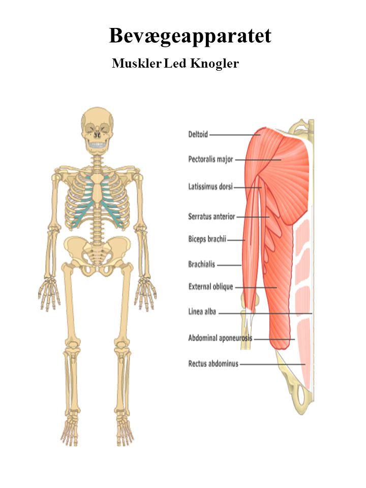 Bevægeapparatet Muskler Led Knogler