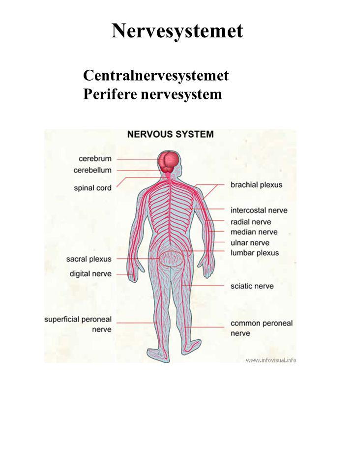 Nervesystemet Centralnervesystemet Perifere nervesystem