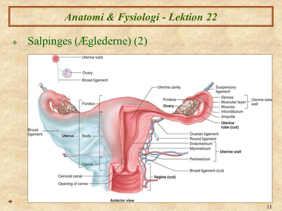 11 Anatomi & Fysiologi - Lektion 22  Salpinges (Æglederne) (2) 