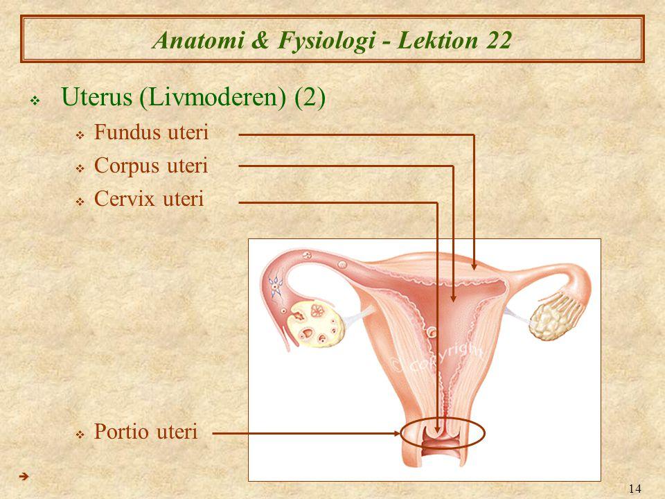 14 Anatomi & Fysiologi - Lektion 22  Uterus (Livmoderen) (2)  Fundus uteri  Corpus uteri  Cervix uteri  Portio uteri 