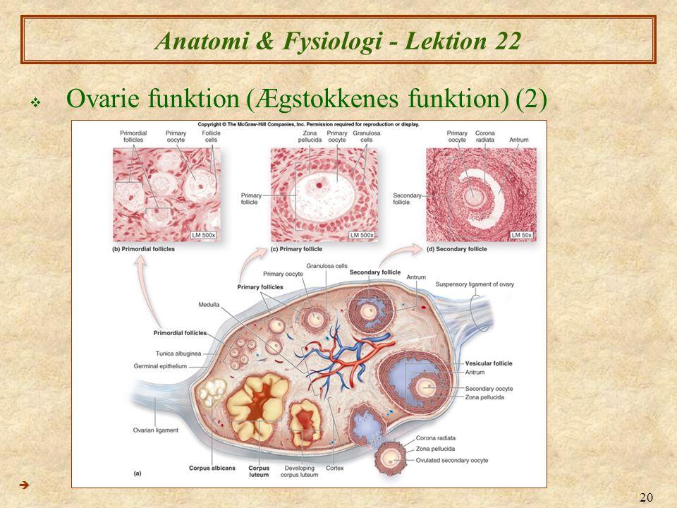 20 Anatomi & Fysiologi - Lektion 22  Ovarie funktion (Ægstokkenes funktion) (2) 