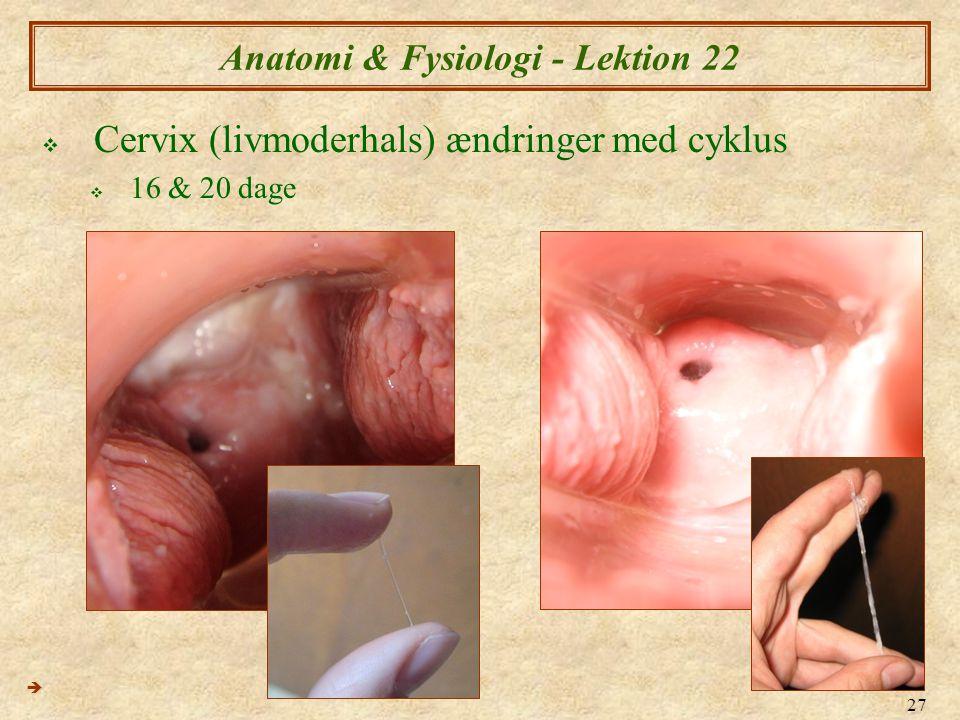 27 Anatomi & Fysiologi - Lektion 22  Cervix (livmoderhals) ændringer med cyklus  16 & 20 dage 