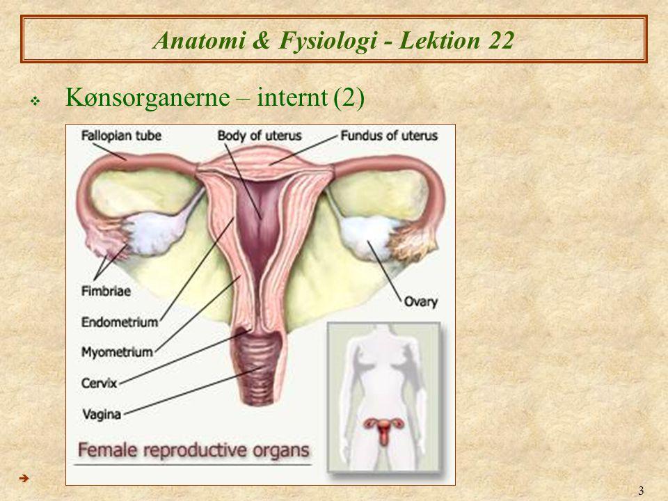 34 Anatomi & Fysiologi - Lektion 22  Fertilisation (Befrugtning) (2)  Implantation – indlejering af blastocysyt i den vaskulær endometrium  Dette sker ca.