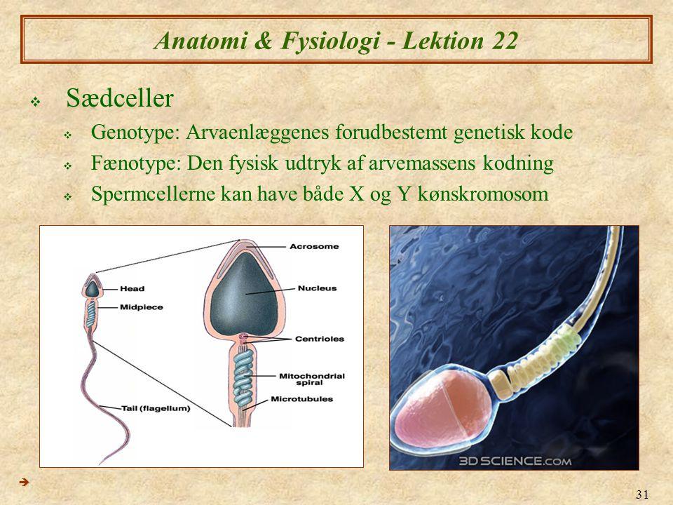 31 Anatomi & Fysiologi - Lektion 22  Sædceller  Genotype: Arvaenlæggenes forudbestemt genetisk kode  Fænotype: Den fysisk udtryk af arvemassens kodning  Spermcellerne kan have både X og Y kønskromosom 
