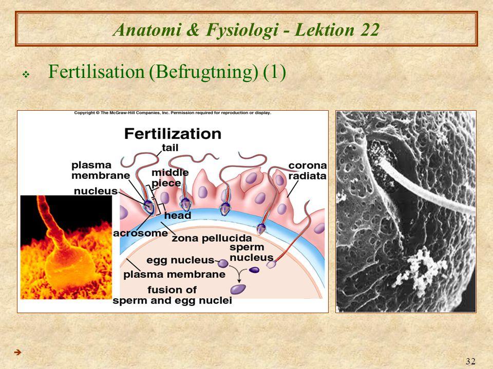 32 Anatomi & Fysiologi - Lektion 22  Fertilisation (Befrugtning) (1) 