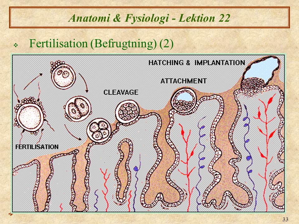 33 Anatomi & Fysiologi - Lektion 22  Fertilisation (Befrugtning) (2) 