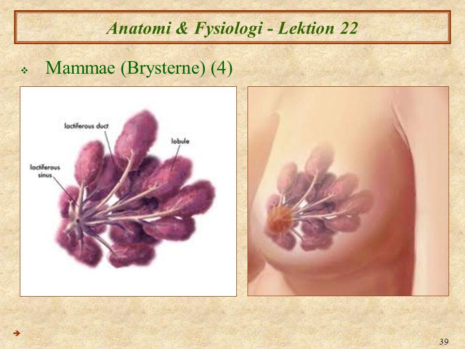 39 Anatomi & Fysiologi - Lektion 22  Mammae (Brysterne) (4) 