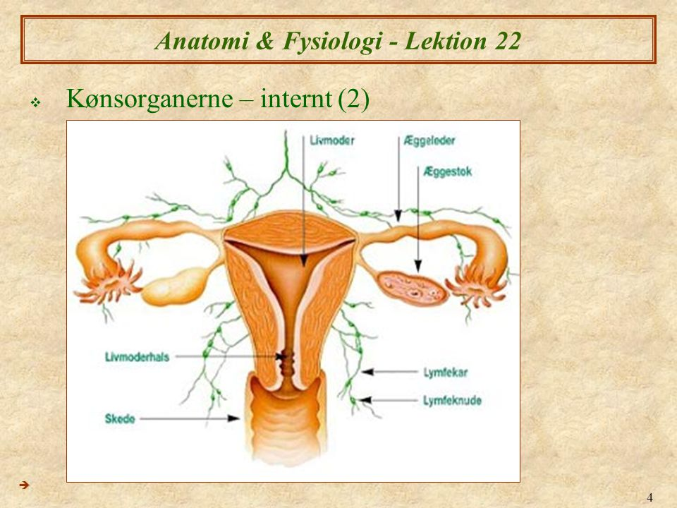 25 Anatomi & Fysiologi - Lektion 22  Cervix (livmoderhals) ændringer med cyklus  1 & 4 dage 