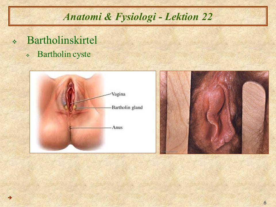 17 Anatomi & Fysiologi - Lektion 22  Ovarie (Ægstokkene) (2)  Ovarierne er omgivet af peritonium (krøs) og samtidig har en struktural sammenhæng til de øvrige indre kønsorganer ved ligamentum latum (det brede ligament) 