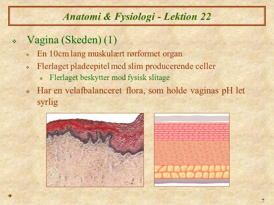 7 Anatomi & Fysiologi - Lektion 22  Vagina (Skeden) (1)  En 10cm lang muskulært rørformet organ  Flerlaget pladeepitel med slim producerende celler  Flerlaget beskytter mod fysisk slitage  Har en velafbalanceret flora, som holde vaginas pH let syrlig 