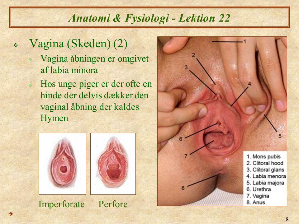 29 Anatomi & Fysiologi - Lektion 22  Ægløsningen (1)  Sker typisk omkring dage 14  Ægget vandre ned af æggelederne ved hjælp af muskelkontraktion, samt bevægelse af æggelederens epitelcellers cilia  Rejsen fra ovariet til uterus tag 3-4 dage  (Sperm kan bevæge sig fra cervix til midtvejs i æggelederne i ca.