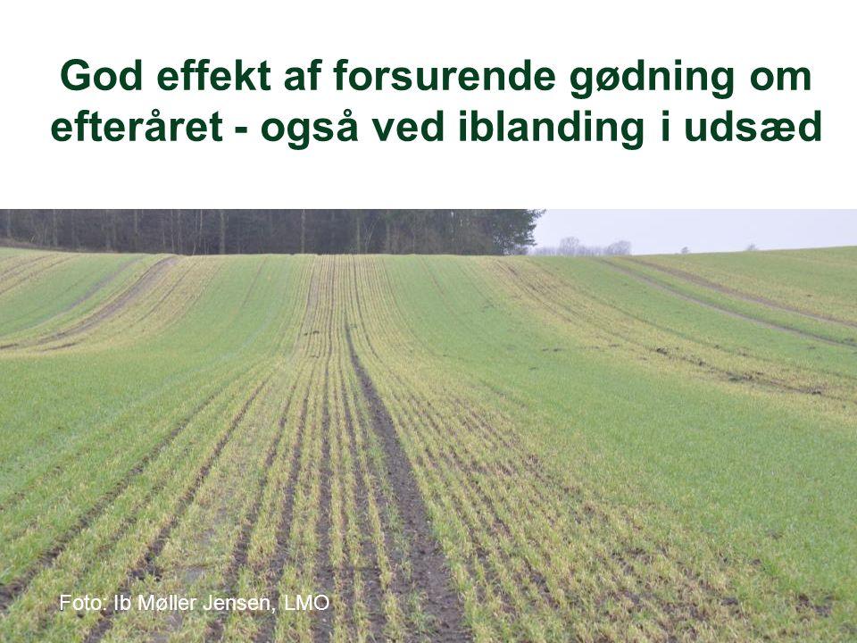 Foto: Ib Møller Jensen, LMO God effekt af forsurende gødning om efteråret - også ved iblanding i udsæd