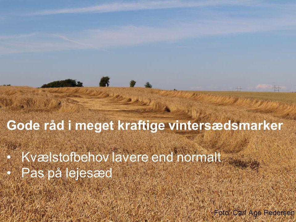 Gode råd i meget kraftige vintersædsmarker Kvælstofbehov lavere end normalt Pas på lejesæd Foto: Carl Åge Pedersen