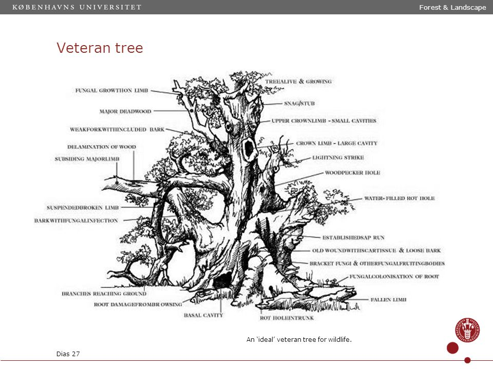 Veteran tree Forest & Landscape An 'ideal' veteran tree for wildlife. Dias 27