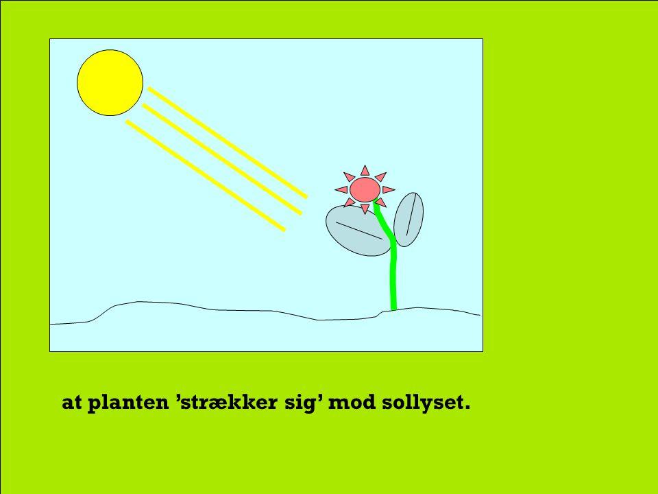 at plantevævsaktiviteten er kraftigst, hvor lyspåvirkningen er kraftigst, hvilket betyder