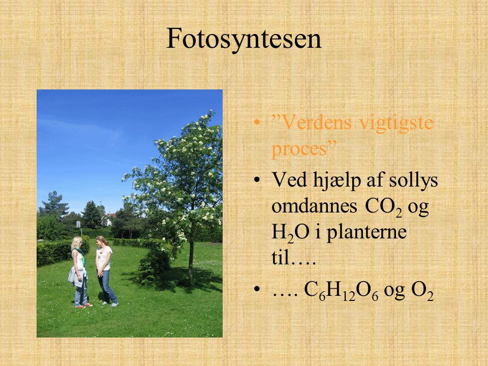 """Fotosyntesen """"Verdens vigtigste proces"""" Ved hjælp af sollys omdannes CO 2 og H 2 O i planterne til…. …. C 6 H 12 O 6 og O 2"""