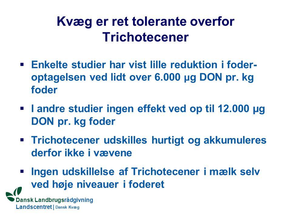 Dansk Landbrugsrådgivning Landscentret | Dansk Kvæg Kvæg er ret tolerante overfor Trichotecener  Enkelte studier har vist lille reduktion i foder- optagelsen ved lidt over 6.000 μ g DON pr.