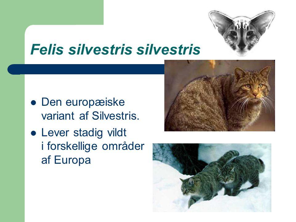 Felis silvestris silvestris Den europæiske variant af Silvestris.