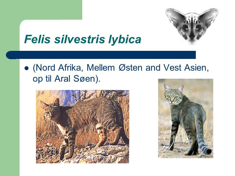 Felis silvestris lybica (Nord Afrika, Mellem Østen and Vest Asien, op til Aral Søen).