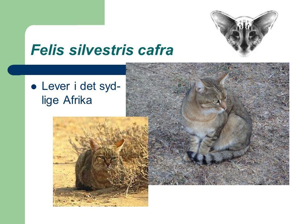 Felis silvestris cafra Lever i det syd- lige Afrika
