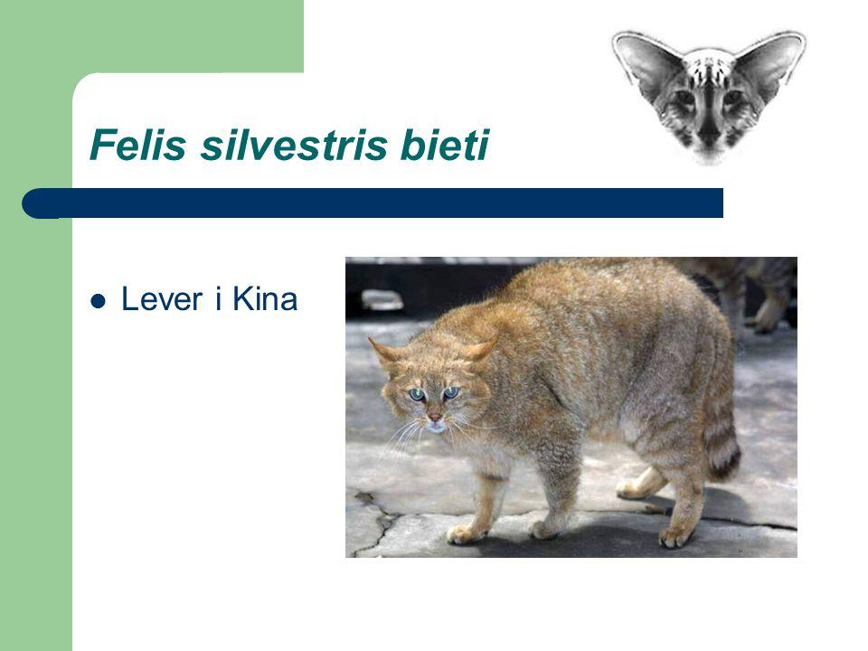 Felis silvestris bieti Lever i Kina