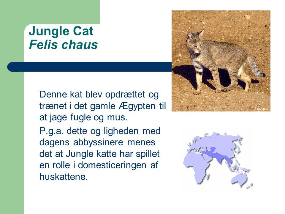 Jungle Cat Felis chaus Denne kat blev opdrættet og trænet i det gamle Ægypten til at jage fugle og mus.