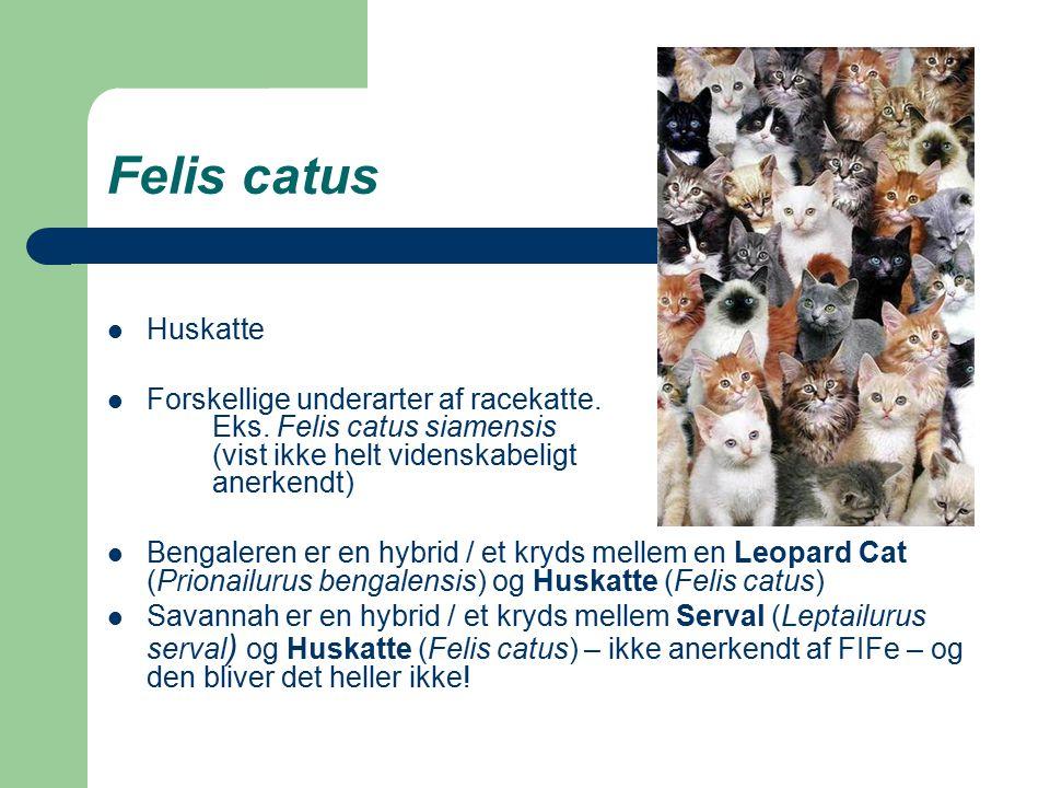 Felis catus Huskatte Forskellige underarter af racekatte.