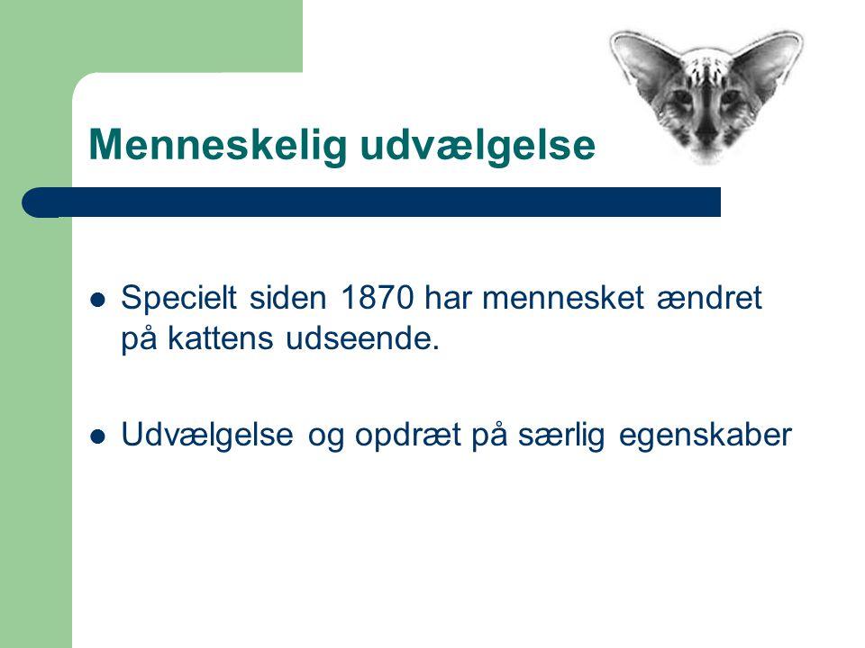 Menneskelig udvælgelse Specielt siden 1870 har mennesket ændret på kattens udseende.