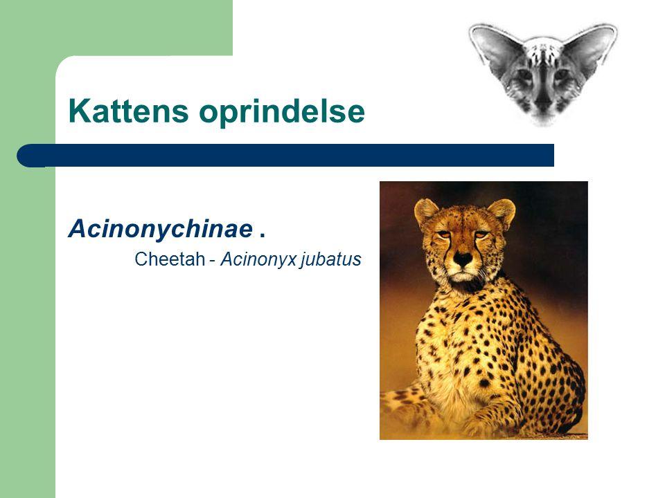 Acinonychinae. Cheetah - Acinonyx jubatus