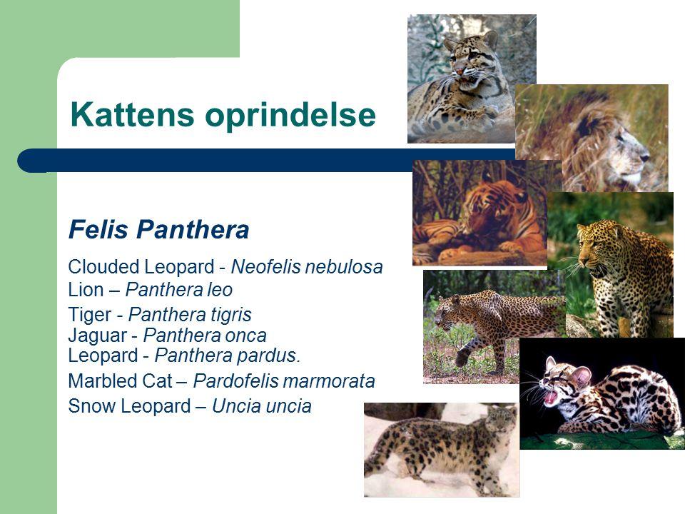Kattens oprindelse Felis Panthera Clouded Leopard - Neofelis nebulosa Lion – Panthera leo Tiger - Panthera tigris Jaguar - Panthera onca Leopard - Panthera pardus.