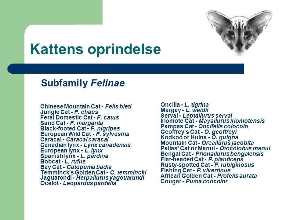 Kattens oprindelse Chinese Mountain Cat - Felis bieti Jungle Cat - F.