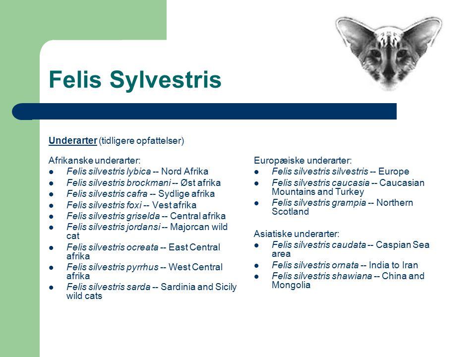 Felis Sylvestris Underarter (tidligere opfattelser) Afrikanske underarter: Felis silvestris lybica -- Nord Afrika Felis silvestris brockmani -- Øst afrika Felis silvestris cafra -- Sydlige afrika Felis silvestris foxi -- Vest afrika Felis silvestris griselda -- Central afrika Felis silvestris jordansi -- Majorcan wild cat Felis silvestris ocreata -- East Central afrika Felis silvestris pyrrhus -- West Central afrika Felis silvestris sarda -- Sardinia and Sicily wild cats Europæiske underarter: Felis silvestris silvestris -- Europe Felis silvestris caucasia -- Caucasian Mountains and Turkey Felis silvestris grampia -- Northern Scotland Asiatiske underarter: Felis silvestris caudata -- Caspian Sea area Felis silvestris ornata -- India to Iran Felis silvestris shawiana -- China and Mongolia