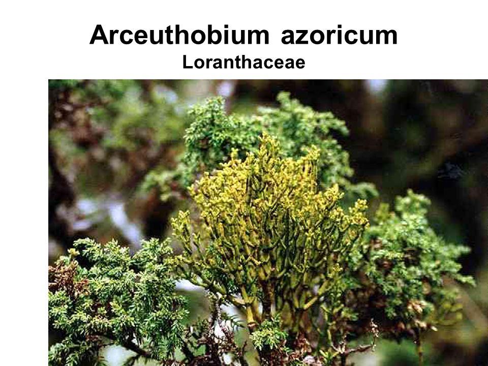 Arceuthobium azoricum Loranthaceae