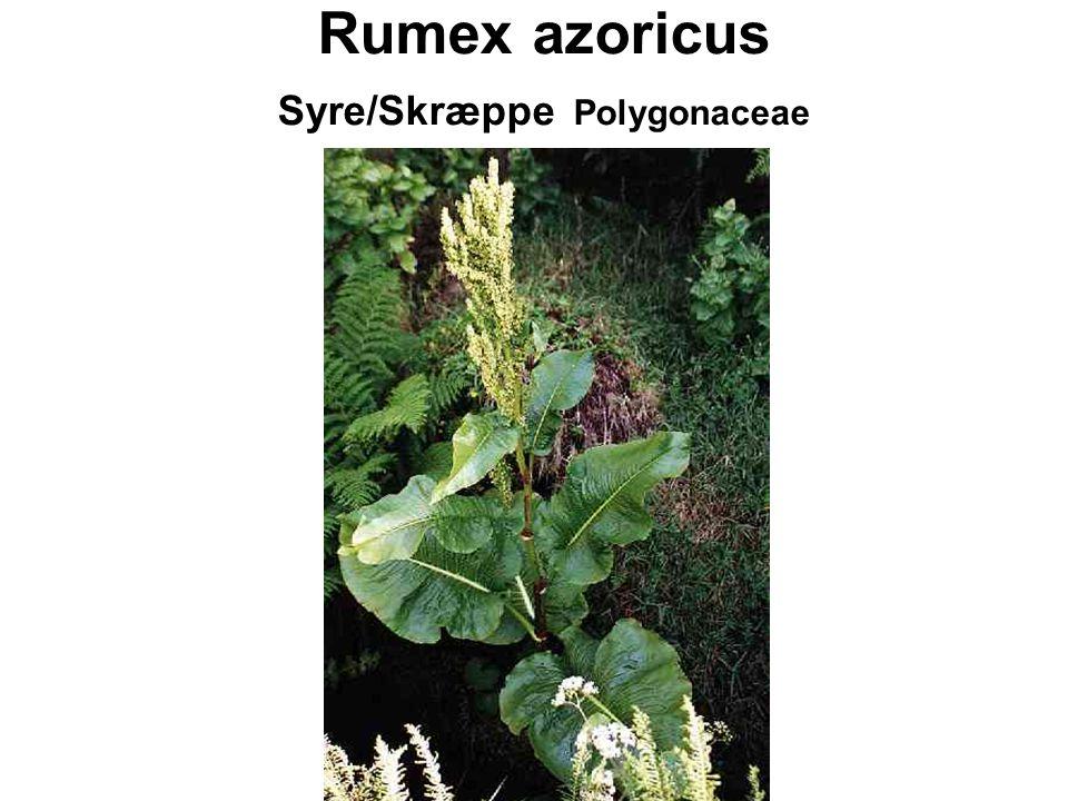 Rumex azoricus Syre/Skræppe Polygonaceae