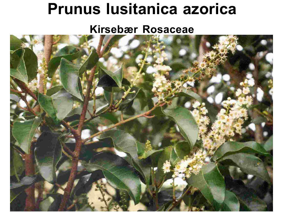 Prunus lusitanica azorica Kirsebær Rosaceae