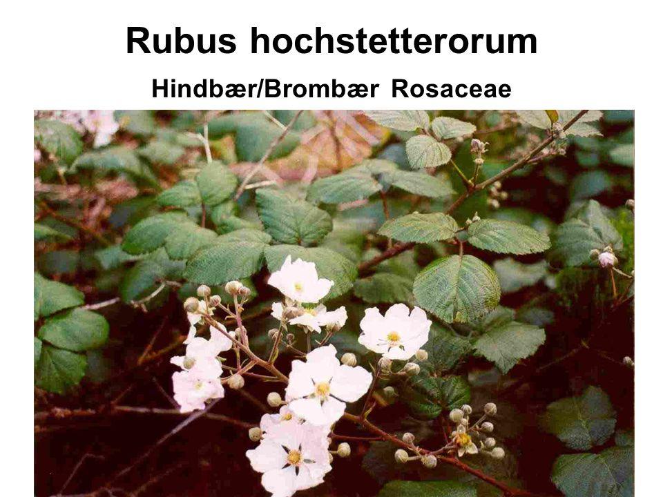 Rubus hochstetterorum Hindbær/Brombær Rosaceae